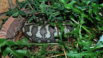 A little Python of about 1 m ( 3' ), caught something  like a large rodent, judging by the long and big bulge on his body. The critter then spent 12 days in our dandelion pot digesting its c ...
